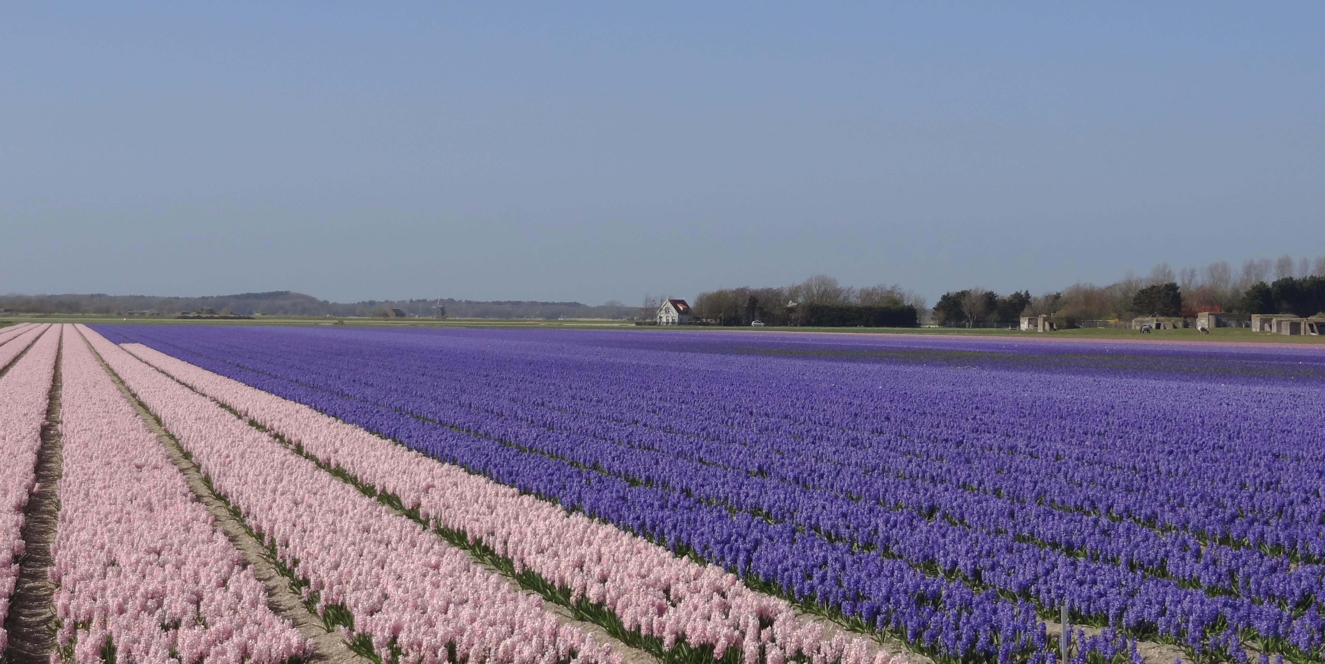 Bollenveld bij Alkmaar
