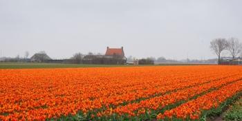 Bollenveld Langevliet Den Helder