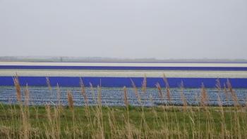 Hyacinthenveld langs de Langevliet bij Julianadorp