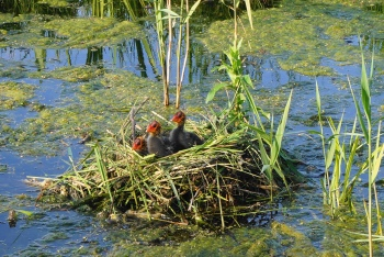 Meerkoeten op nest