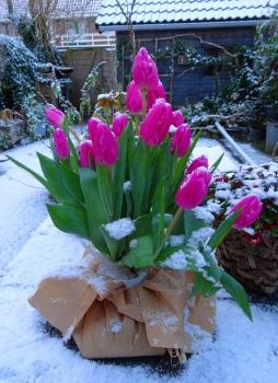 Sneeuwtulpen