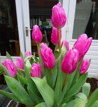 Tulpen een maand