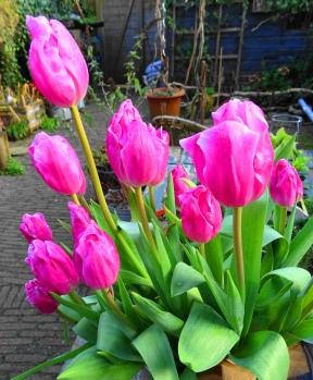 Eeuwigdurende tulpen