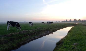 koeien-bij-swichum